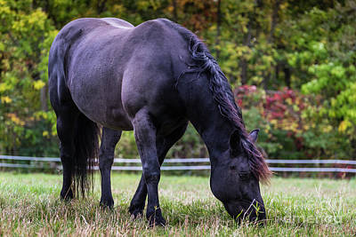Photograph - Black Beauty Graze by Joann Long