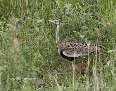 Photograph - Black-bellied Bustard by Mike Fitzgerald