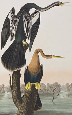 Darter Painting - Black-bellied Darter by John James Audubon