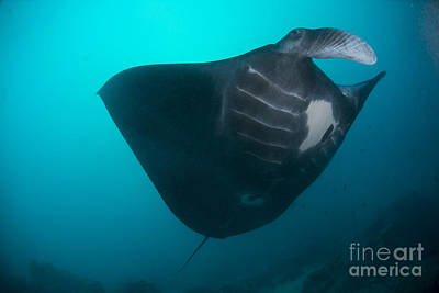 Animals Photos - Black-bellied Manta Ray Taking Off by Mathieu Meur