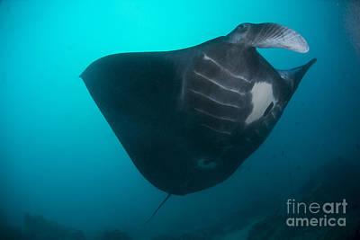 Batoidea Photograph - Black-bellied Manta Ray Taking Off by Mathieu Meur