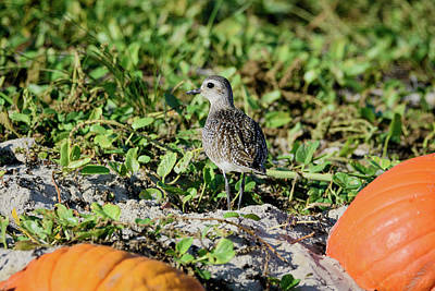 Photograph - Black-bellied Plover Between The Pumpkins by Debra Martz