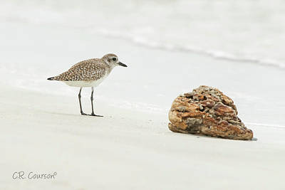 Photograph - Black-bellied Plover by CR Courson