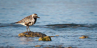 Photograph - Black-bellied Plover by Dawn Currie