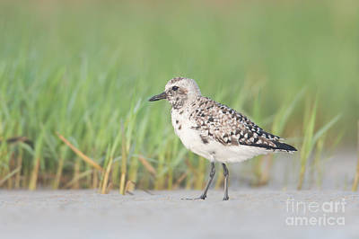 Photograph - Black-bellied Plover I by Clarence Holmes
