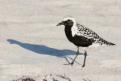 Photograph - Black-bellied Plover II by Dawn Currie