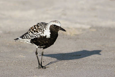 Photograph - Black-bellied Plover IIi by Dawn Currie