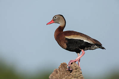 Photograph - Black-bellied Whistling Duck by David Watkins