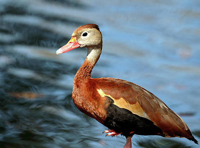 Photograph - Black Bellied Whistling Duck by Nicholas Blackwell