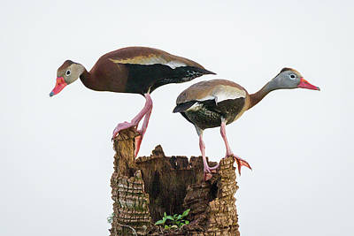 Photograph - Black-bellied Whistling Duck Pair by Dawn Currie