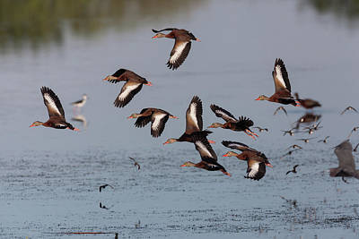 Photograph - Black-bellied Whistling Ducks In Flight by David Watkins