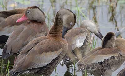 Photograph - Black-bellied Whistling Ducks by Patricia Twardzik