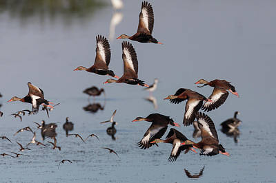 Photograph - Black-bellied Whistling Ducks Taking Flight by David Watkins