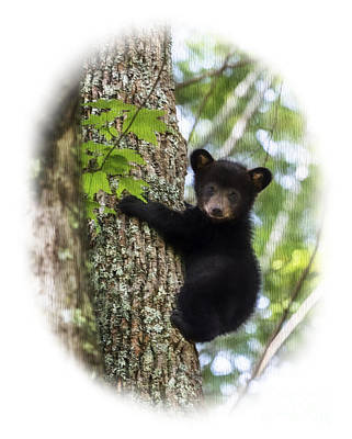 Photograph - Black Bear Cub Climbing Down   Paintography by Dan Friend