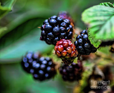 Photograph - Black Berries by Shirley Mangini