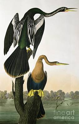 Engraving Drawing - Black Billed Darter by John James Audubon