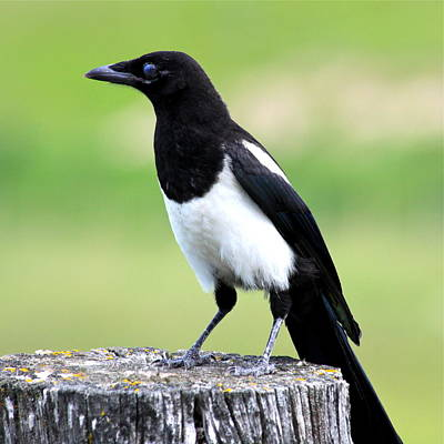 Photograph - Black-billed Magpie by Karon Melillo DeVega
