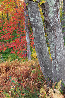 Photograph - Black Birch Autumn by Bill Wakeley