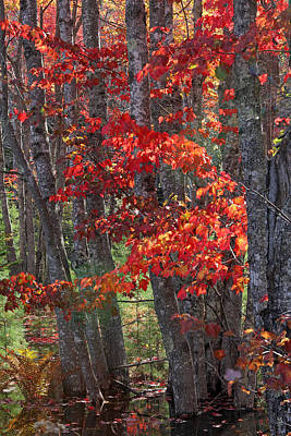 New England Fall Foliage Photograph - Black Birch Tree Splendor by Juergen Roth