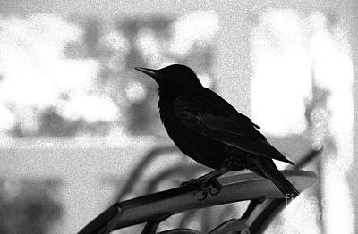 Photograph - Black Bird Bw by Linda Shafer