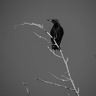 Photograph - Black Bird On A Branch by Bill Tomsa