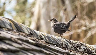 Photograph - Black Bird by Steven Poulton