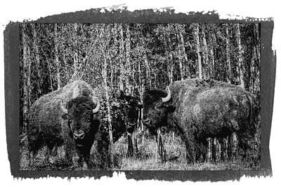 Bison Digital Art - Black Bison by Al Rempel