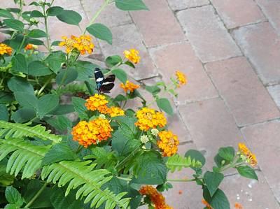 Photograph - Black Blue Butterfly Gold Flowers by Mozelle Beigel Martin