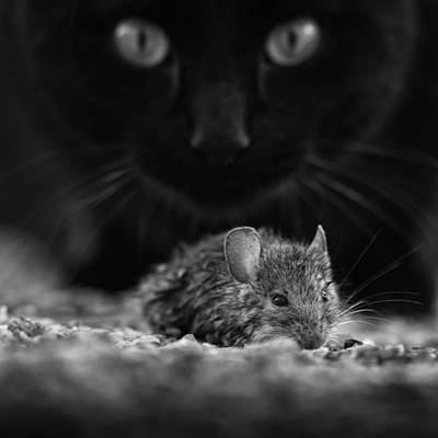 Mice Photograph - Black Breakfast by Francois Casanova