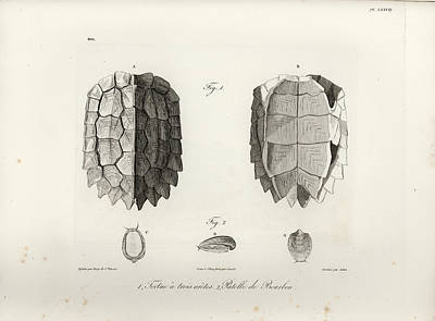 Drawing - Black-breasted Leaf Turtle by J B Bory de Saint Vincent