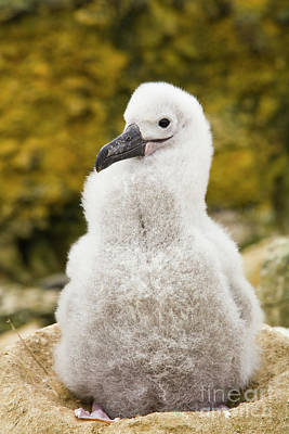 Photograph - Black Browed Albatross Chic by Yva Momatiuk John Eastcott