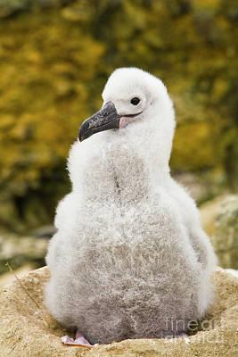 Albatross Photograph - Black Browed Albatross Chic by Yva Momatiuk John Eastcott