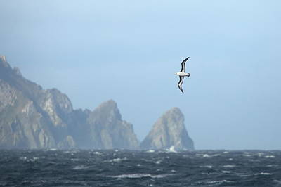 Photograph - Black-browed Albatross Soaring Above Cliffs by Bruce J Robinson