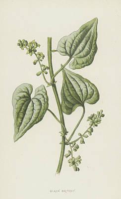 Weed Drawing - Black Bryony by Frederick Edward Hulme