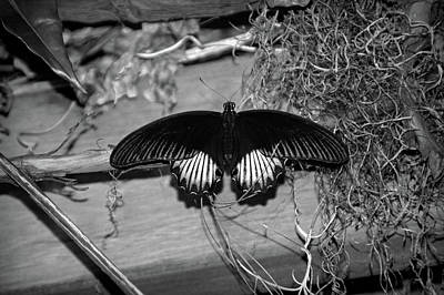 Photograph - Black Butterfly In Black And White by Aimee L Maher Photography and Art Visit ALMGallerydotcom