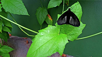 Photograph - Black Butterfly On Green by Nareeta Martin