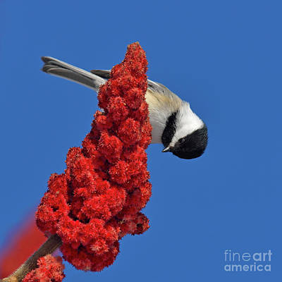 Photograph - Black Cap by Joshua McCullough