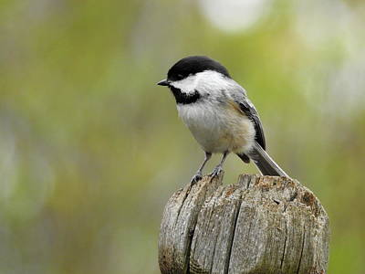 Photograph - Black Capped by Betty-Anne McDonald