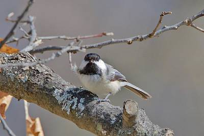 Photograph - Black Capped Chickadee 1109 by Michael Peychich