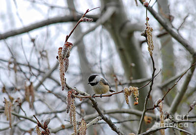 Photograph - Black-capped Chickadee 20120321_38a by Tina Hopkins
