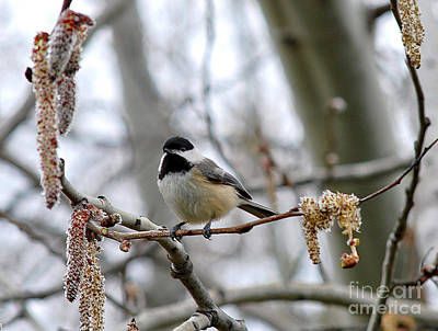 Photograph - Black-capped Chickadee 20120321_39a by Tina Hopkins