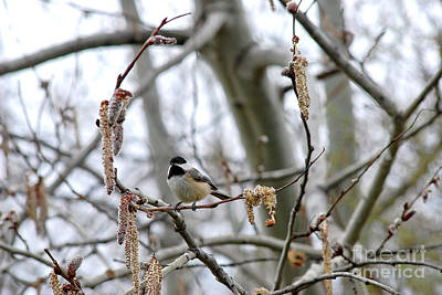 Photograph - Black-capped Chickadee 20120321_39b by Tina Hopkins