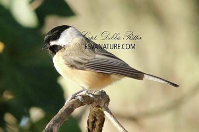 Photograph - Black Capped Chickadee 5329 by Captain Debbie Ritter