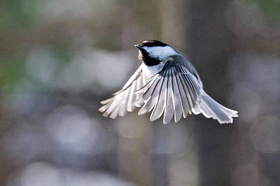 Photograph - Black-capped Chickadee 6986 by Michael Peychich
