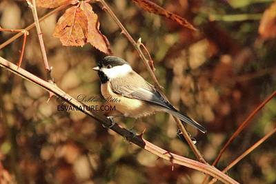 Photograph - Black-capped Chickadee 7649 by Captain Debbie Ritter