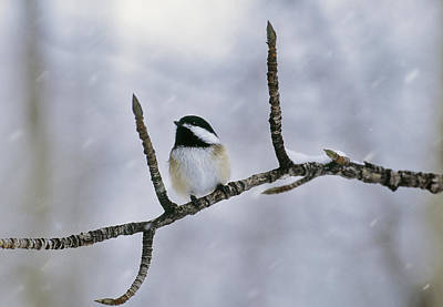 Chickadee Photograph - Black-capped Chickadee, Alberta by Darwin Wiggett