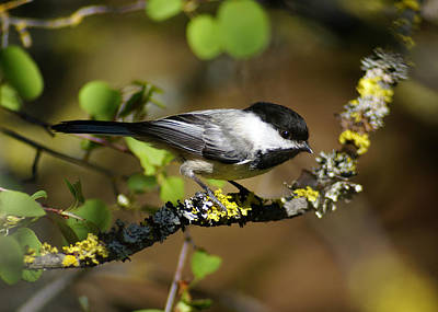 Photograph - Black-capped Chickadee by Ben Upham III