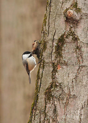 Photograph - Black-capped Chickadee by Charles Owens
