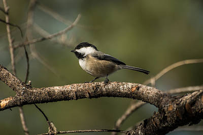 Chickadee Family Photograph - Black-capped Chickadee by Constance Puttkemery