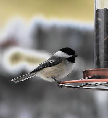 Photograph - Black-capped Chickadee by Cristina Stefan